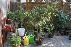 Überwinterte Chilipflanzen im Frühjahr (blumenbiene) Tags: chilipflanze chilipflanzen chili chilli chillie chilie plant plants pflanze pflanzen garten garden pepper peppers outdoor überwinterung overwinter hibernate überwintern
