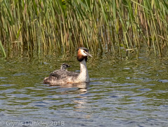 Grebe with young (redhead126) Tags: hamwall greatcrestedgrebe younggrebe