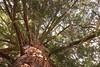 Baum (rolandgreiner) Tags: bäume äste