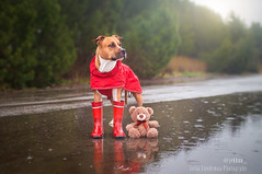 IMG_5860-Editfb (Le-laa) Tags: teddy teddybear amstaff americanstaffordshireterrier dog dogphotography dogs dogportait cute canon6d canon raining wellies