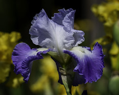 Iris_SAF8176-2 (sara97) Tags: bloom copyright©2018saraannefinke flower floweringplant missouri nature photobysaraannefinke saintlouis spring towergrovepark towergrovepark2018 urbanpark