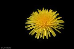 Dandelion (John Campbell 2016) Tags: dandelion weed flower blackbackground closeup canon1300d canonphotography yellow yellowweed yellowflower nature naturephotography wildplants