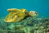 turtle3Mar30-18 (divindk) Tags: cheloniamydas hawaii hawaiianislands honokeana honu maui napili napilipointresort underwater diverdoug endangeredspecies greenseaturtle marine ocean reef sea seaturtle turtle underwaterphotography