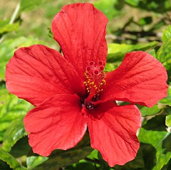 Red Hibiscus! ('cosmicgirl1960' NEW CANON CAMERA) Tags: flowers worldflowers parks gardens marbella spain espana andalusia costadelsol tropical exotic nature green yabbadabbadoo travel holidays