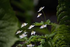 _NCL6132-Edit (chitoroid) Tags: nikond750 afpnikkor70300mmf4556eedvr japan hokkaido sapporo flower