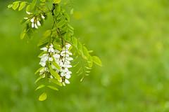 un glicine a primavera (walter.fangio) Tags: glicine fiori primavera petali bianco verde green nature spring