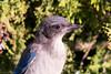 Fledgling California Scrubjay (ElizabethCaffey) Tags: fledgling california scrubjay