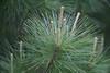 DSC08072 (Old Lenses New Camera) Tags: sony a7r graflex graftar wollensak 103mm f45 plants garden trioptar