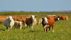 Kühe (Tobi NDH) Tags: kuh rind cow cattle kühe kuhherde herde vieh esperstedterried tier animal nature natur kalb calf landwirtschaft weidehaltung weide