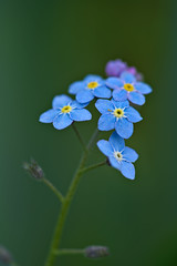 Forget-Me-Not (pstenzel71) Tags: blumen natur pflanzen myosotis vergissmeinnicht forgetmenot flower darktable bokeh spring