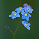 Forget-Me-Not thumbnail