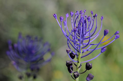 Muscari comosum (babajuanne) Tags: flower flowers fioritura nature essenzabotanica macro sardegna sardinia essenzebotanichedellasardegna natura fiore