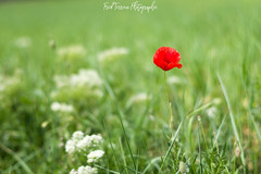 The one (freuddy) Tags: poppy coquelicot france provence fleur flower red rouge green vert champ field nature
