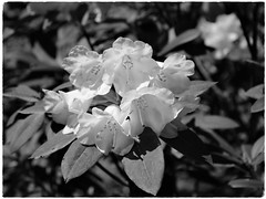 Rhododendron flowers (JulieK (thanks for 6 million views)) Tags: hmbt monochrome rhododendron bw jfkarboretum 2018onephotoeachday flower bloom petals blackandwhite canoneos100d dof bokeh macro beautifulnature wexford ireland irish flora