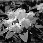 Rhododendron flowers thumbnail