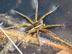 Raft Spider (Alastair Rae) Tags: dolomedesfimbriatus england surrey spider