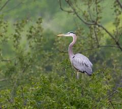 Great Blue Heron (Lee J2) Tags: greatblueheron andeaherodias peacevalleypark buckscounty pennsylvania