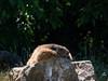 20180521-P1680391 (Dudli Photography) Tags: wildschwein damhirsche murmeltier gems waldkatze peter und paul
