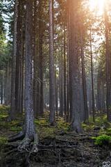 Wald, Ohratalsperre, Luisenthal (Sascha Selli) Tags: leica leicam10 voigtländernokton50mmf15vm thüringen deutschland germany europe europa ohratalsperre luisenthal wald forest reservoir trees