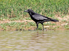 Corneja común (Corvus corone)  (25) (eb3alfmiguel) Tags: aves pájaros passeriformes corvidae corneja común corvus corone