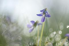 (amy20079) Tags: violet wildflower violetwildflower macro newengland maine nikond5100 springtime bokeh dew dewdrops naturallight plants