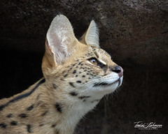 Mkali (ToddLahman) Tags: africanserval serval cat beautiful outdoors mammal sandiegozoo sandiego canon7dmkii canon closeup canon100400 portrait mkali