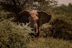 Welcome to Tanzania (mdmove1962) Tags: africa afrika elefant fruehjahr move1962 move1962gmxnet michad natur reisefotografie saeugetier tztansania tarangirenationalpark tier tierfotografie umwelt african afrikanisch elephant environment environmental place travelphotography manyararegion tansania tz