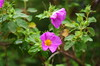 123 - Erbalunga, un sentier au dessus du village (paspog) Tags: corse capcdorse erbalunga montagne berg mountain fleurs flowers wildflowers blumen wildeblumen fleurssauvages france mai may 2018