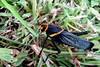 Cojo/Lame (jerodamor@yahoo.com.mx) Tags: chapulín naturaleza saltamontes grasshopper
