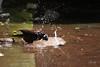 uk 2G6A0684 (uday khatri photography) Tags: udaykhatriphotography fine udaykhatri art amazing abstract ahmedabad animal wildlife bird beautiful birds bulbul myna mynah bath summer two india pink nest
