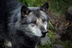 Timberwolf (Fritz Zachow) Tags: wolf timberwolf raubtier erlebniszoo hannover niedersachsen deutschland