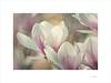 Printemps (E. Pardo) Tags: primavera frühling spring flores flowers blumen magnolia magnolios colores farben colors luz licht light admont steiermark austria