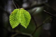 Burst of life (tootdood) Tags: canon6dmkii newislington manchester nature green leaves burst life rain drops