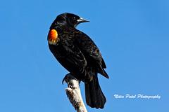 IMG_4815 (nitinpatel2) Tags: bird nature nitinpatel