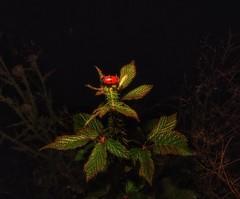 Rojo sobre Verde. (angelalonso57) Tags: explorar inexplore explore canon 1600 grem verde red rojo powershot g1 x mark ii 125625mm ƒ160 125 mm 11600 100 natura naturalmente nature zarza planta bosque