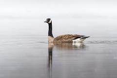 Canada goose / Bernache du Canada (Branta canadensis) (Jean-Maxime Pelletier) Tags: canadagoose bernacheducanada brantacanadensis bird goose spring migration