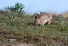 ©Mark Kras-Konijn-_DWL2874.jpg (markkras-fotografie) Tags: zoogdieren konijn fauna europeanrabbit oryctolaguscuniculus nederland nl