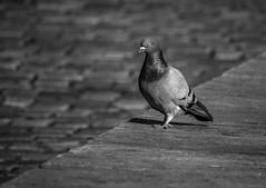 Pigeon (MortenTellefsen) Tags: 2018 gatefoto street pigeon due bw blackandwhite blackandwhiteonly monochrome streetphoto bird birds lines cobblestone bergen norway