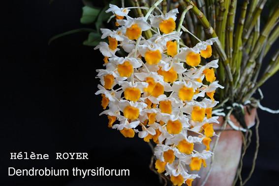 dendrobium_thyrsiflorum-small