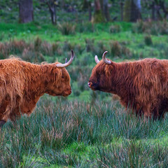 Heilan Coos ~ Face off (Margaret S.S) Tags: heilan coos cows highland bovines animals