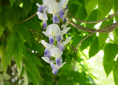 White and purple Wisteria (Monceau) Tags: jardindesplantes paris white purple wisteria flowers blossoms green leaves hangingdown