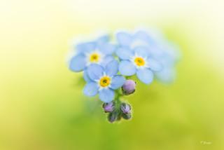 Tiny blue stars