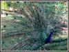 Il vanitoso (explored 11/05/2018) (magister111) Tags: spagna spain birds uccelli colours colori
