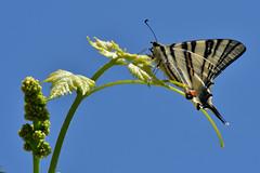 primavera - spring (luporosso) Tags: natura nature naturaleza naturalmente nikon nikonitalia primavera printemps spring farfalla farfalle mariposa butterfly butterflies bugs buz podalirio papillon borboleta uva germogli