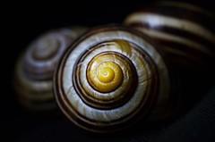 Spiral - Low Key - HMM! (brennapear) Tags: lowkey macromondays snail shell spiral dark dof