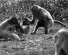 combat dans les prés - fighting in the meadows (vieux rêveur) Tags: nb bw bn blanc white blanco negro noir black noiretblanc animal animaux ape singe monkey ngc