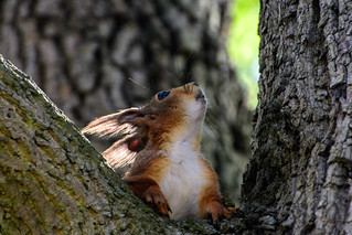 Red Squirrel-Stockholm-1-6