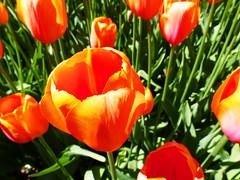 tulip (Timmie10) Tags: netherlands nederland keukenhof lisse tulip tulp outdoor bloem flower