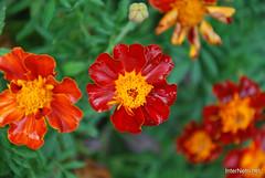 Квіти Чорнобривці InterNetri Ukraine 33
