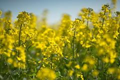In the Rapeseed (Stefan Zwi.) Tags: raps gelb rapeseed flower blüte blühen feld rapsfeld ackerbau frühling farming spring samyang135mm yellow ngc npc